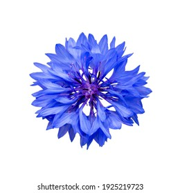 Close up of blue cornflower flower isolated on white background.  Blue Cornflower Herb or bachelor button flower. Macro picture of corn flowers.