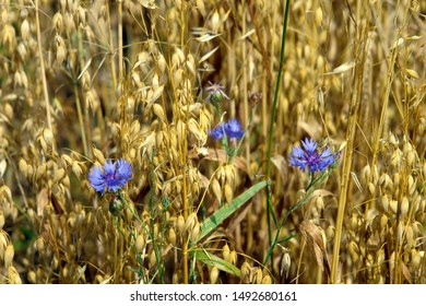 Close up of blue cornflowers on an oat (Avena) field. Poland, Europe