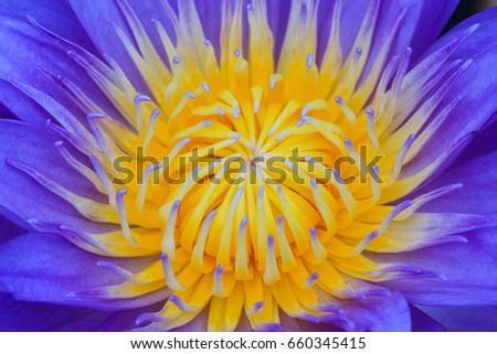 Close Blue Egyptian Lotus Flower Nymphaea Stock Photo Edit Now