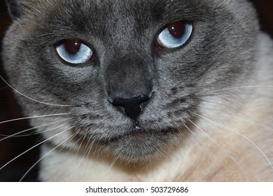 Close up of blue eyed Siamese cat face