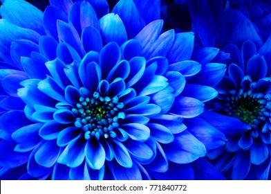 Close up of blue flower aster details for background