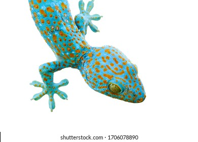 close up of blue Gecko isolated on white background with clipping path
