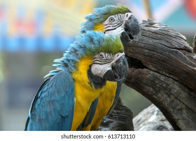 Close up blue and gold Macaw, Beautiful parrot