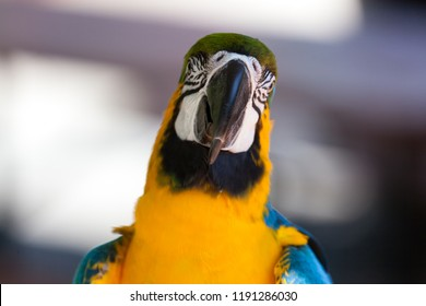 A close up of a blue and gold macaw parrot looking straight on with a blurred background.
