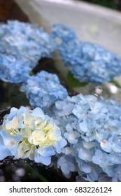 Close up of blue hydrangea