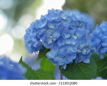 Close up of blue hydrangea flower