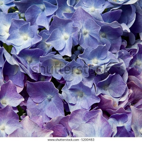 close up of blue hydrangea texture macro