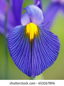 Close up of a blue iris flower