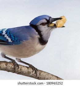 Close up of blue jay foraging in the snow and with a peanut in his beak