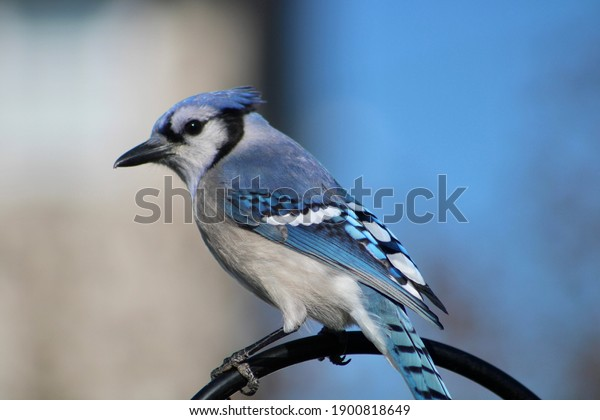 A close up of a blue jay looking pretty suspicious perched on a black piece of metal. His belly is white, beak is long, and wings are a bright colored blue. It's a profile shot with one eye visible.