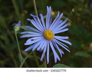 Close up of a blue Kalimeris Incisa flower in a garden