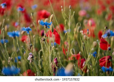 Close up of blue knapweed and red poppy flowers on the field.