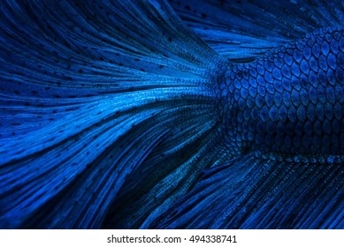 Close up of blue metal betta fish, use for background