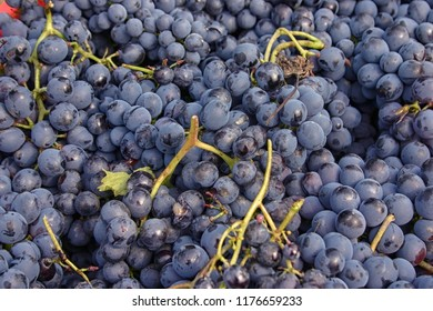 Close up of blue nebbiolo grapes