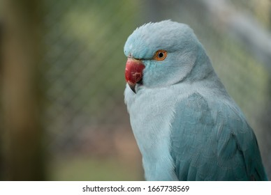 Close Up of a Blue Parrot with Red Beck and Ringed Eye