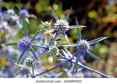 A close up of a blue plant with spikey leaves growing in a garden with a bokeh background