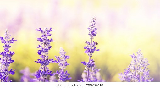 Close up of blue Salvia flowers on nature background in spring time