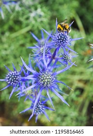 Close up of blue thistle flower (Eryngium Aquarius Questar) also known as Sea Holly