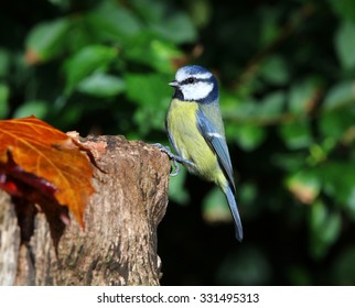 Close up of a blue tit perched on a tree stump in autumn