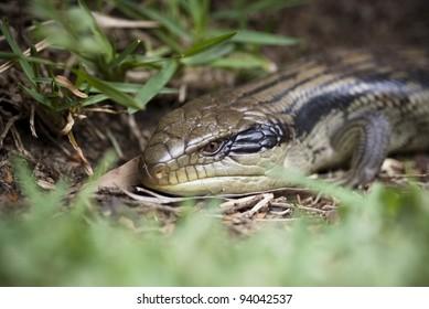 Close up of a blue tongue lizard