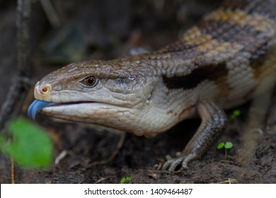 Close up of blue tongue lizard skink with tongue details out