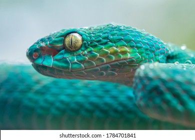 close up of Blue viper snake head