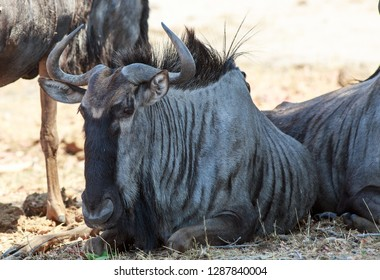Close up of a Blue Wildebeest  head (Gnu)  laying down in Hwange National Park