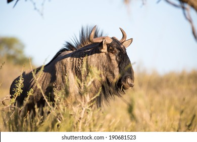 A close up of a Blue Wildebeest standing in the savannah grass fields, looking ahead for any danger.