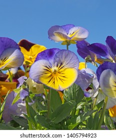 a close up of blue and yellow tricolor pansies in bright sunlight against a vibrant blue sky