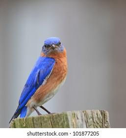 Close up of a Bluebird