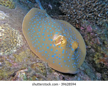 Close up of blue-spotted stingray