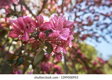 Close up of blur pink Japanese Crab Flowers on the background of a flowering tree. Malus floribunda Siebold. Soft selective focus.