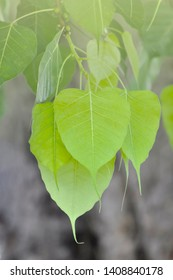 close up of Bo leaves in light green color background.