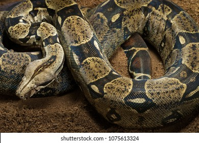 Close up of Boa constrictor imperator - nominal Colombia. Colombian redtail boas, females