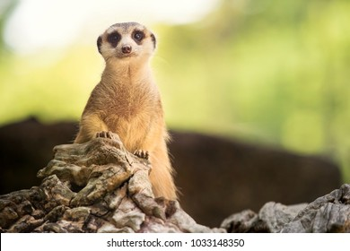 close up body of meerkat standing on ground