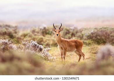 Close up of a Bohor Reedbuck in Gaysay Grasslands, Ethiopia.