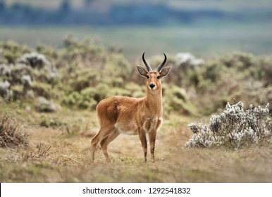 Close up of a Bohor Reedbuck standing in Gaysay Grasslands, Ethiopia.