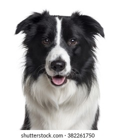 Close up of a Border Collie looking at the camera, isolated on white