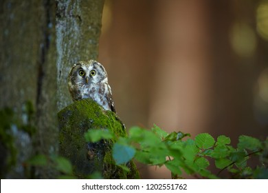 Close up boreal owl, Aegolius funereus, small, nocturnal owl, known as Tengmalm's owl, sitting on the old beech tree in the mountains forest of czech highland. Shy owl in the forest. Europe.
