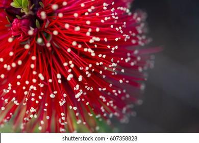 Close up of bottle brush flower
