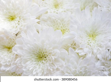 150032 White White Chrysanthemum Images Royalty Free Stock Photos