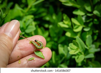 Close Up of Box tree moth caterpillar, Cydalima perspectalis, feeding on fingers of gardener against blurred buxus. Biggest pest for Buxus sempervirens, European box, or boxwood invasive specie