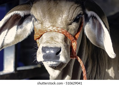 Close up of a Brahman calf's face with a red halter