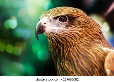 Close up Brahminy Kite