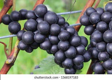 Close up to a branch of black grapes.