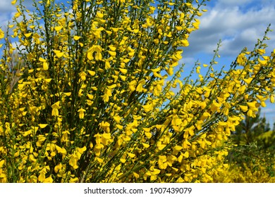 Close up of the branch of blooming yellow flowers of Cytisus scoparius, the common broom or Scotch broom, syn. Sarothamnus scoparius. Blooming broom, Cytisus scoparius in April.