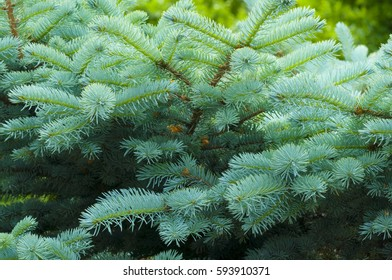 close up of a branch of a blue spruce with needles and small cones