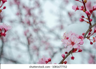 A close up of a branch from a cherry tree with pink cherry blossoms and snow on them positioned in the right corner isolated on a blurry background of other branches shot in extreme weather.