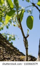 Close up of branch with foliage grafted to the tree trunk.