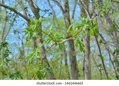 A close up of the branch of medicinal plant (Eleutherococcus senticosus), spring.